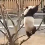 【木登りパンダ!】細い枝を登ろうとした結果・・・。