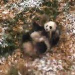 【アメリカのワシントンの国立動物園】雪の中で遊ぶジャイアントパンダ!