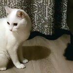 【フランスの白猫!】小さい黒猫にびっくりして大ジャンプするネコ!