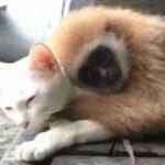 【タイの寺院】テナガザルが猫で温まる!