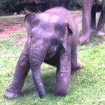【タイの北部のチェンマイ】豪雨の後のぬかるみを滑りながら歩くゾウの赤ちゃん!
