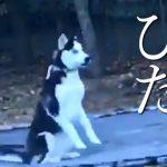 【トランポリンで遊ぶシベリアンハスキー】ヒャッハーッ!!でも飼い主に見つかると真面目な犬のフリ!