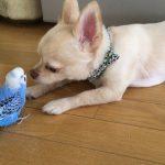 【チワワとセキセイインコ】犬の鳴きまねをするインコ!