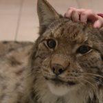 【ロシアのモスクワのアパートの巨大猫!】ペットとして飼われているオオヤマネコ!
