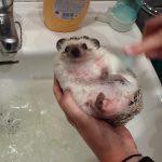 【かわいい】お風呂に入って綺麗になったハリネズミ!