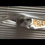 【石原裕次郎ネコ】ブラインドを潜り抜ける猫!