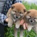 【ロシアで大人気の日本犬】モスクワ州の柴犬(しばいぬ)ブリーダー!