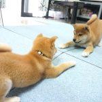 【わんわん!】鏡に映った自分と戦う柴犬!