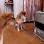 【暖房が好きだワン!】ファンヒーターの点火を待つ柴犬!