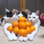 【ピラミッドだニャ!】猫とみかん!