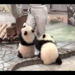 【掃除の邪魔をする子パンダたち!】和歌山県西牟婁郡白浜町のアドベンチャーワールドのジャイアントパンダ!