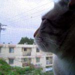 【コケコッコーだニャ!】鶏の鳴き真似をする猫!