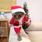 【2足歩行だニャ!サンタ猫】サンタクロースでコスプレしたネコ!