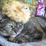 【ピヨピヨだニャ!】猫とウズラ!