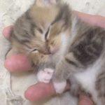 【手乗り猫!】かわいい赤ちゃんネコ!