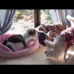【猫パンチだニャ!】チワワの反応!