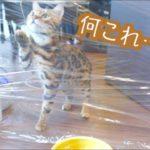 【早く食べたいニャ!】猫にクレラップでドッキリ!