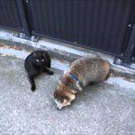 【のかないニャ!】歩くタヌキと道をふさぐ黒猫!