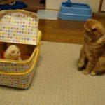 【これはなんだニャ!戸惑いを隠せない】子猫に遭遇したネコ!