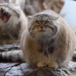 【一番古いニャ!】世界最古の猫のマヌルネコ!