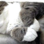 【それは前足だニャ!】お手手を触るのを嫌がる猫!