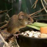 【井の頭自然文化園の日本最小の鼠】カヤネズミ!
