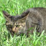 【逃さないニャ!】野生の猫の狩りのシーン!