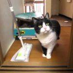 【邪魔だニャ!】クイックルワイパーをどけて欲しい猫!
