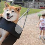 【楽しいワン!】7歳の女の子が柴犬と遊ぶ!
