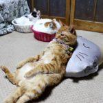 【気持ちいいニャ!】ネコ枕で熟睡する猫!