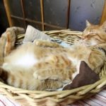 【快適だニャ!】篭の中で寝る猫!