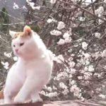 【綺麗だニャ!】梅の花と猫!