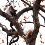 【桃栗三年柿八年だニャ!】柿の木の上の猫!