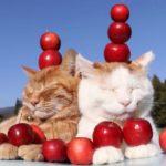 【落とさないニャ!】ミニりんごを頭に乗せた猫!