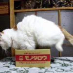 【小さい箱だニャ!】アマゾン(Amazon)のライバルのモノタロウの箱に入る猫!