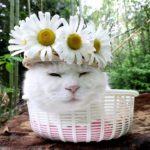 【よく似合うニャ!】マーガレットの花飾りを着けた猫!