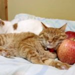 【ちょうどいいニャ!】りんごを枕にして寝る猫!