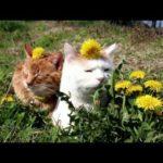 【癒し系】タンポポと猫!