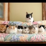 【みんな一緒で楽しいニャ!】猫をお布団でサンドイッチ!