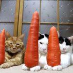 【ニンジンだニャ!】人参を手に乗せる猫!
