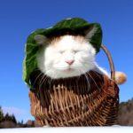 【日除けだニャ!】キャベツの帽子をかぶる猫!