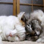 【かわいい】猫と猫が頭をこっつんこ!