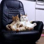 【リラックスだニャ!】黒い座椅子でくつろぐ猫!