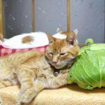 【これでいいニャ!】キャベツを枕にしてくつろぐ猫!