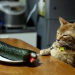 【これは何かニャ!】恵方巻をみつめる猫!