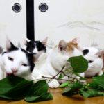 【初めて見るニャ!】またたびの実と猫!
