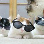 【かっこいいニャ!】サングラスをかけた猫!