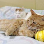 【自分サイズだニャ!】プッチーニかぼちゃ(西洋カボチャ)を枕にして寝る猫!