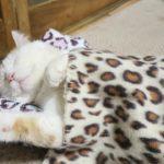 【まねき猫じゃなくて、ねまき猫だニャ!】お昼寝中の猫!