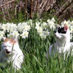 【キレイだニャ!】白い水仙と猫!